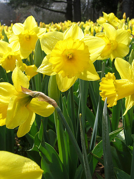 450px-Yellow_daffodils_-_floriade_canberra1.jpg